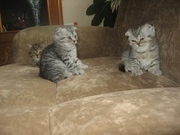 Продам британских вислоухих котят!