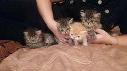 Продам экзотических котят