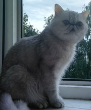 Нужен кот экзот экстримал для вязки.