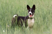 Щенки басенджи-африканской нелающей собаки