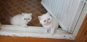 Экзотические котята МВ1598682