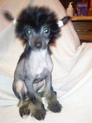 Продам щенков Китайской Хохлатой собачки